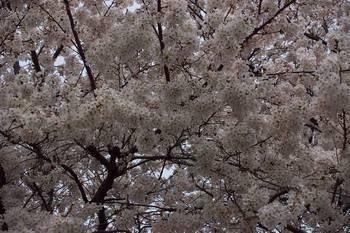 Sakura2006